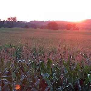 The sunsets over a corn field in Town of Elk Mound in Dunn County Wisconsin